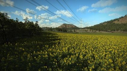 Sunflowers plant